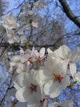 20110410-CherryBlossom(2).jpg
