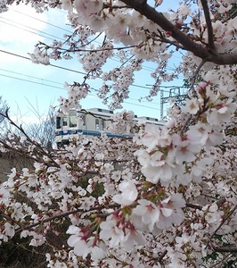 20140405-Cherry-blossom_ Viewing(2).jpg