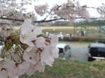 20150404-Sakura.jpg