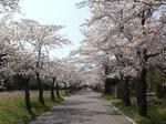 20140409-SakuraTunnel.jpg