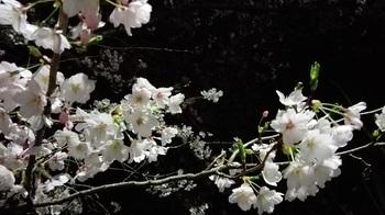 20160404-CherryBlossoms.jpg