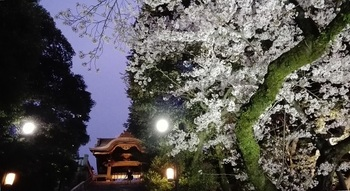 20160408-CherryBlossoms.jpg